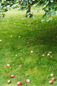 Fallen ripe apples lie on green grass under tree — Stock Photo