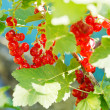 Red currant berries close up on green bush — Stock Photo #51534019