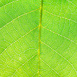 Green leaf of walnut tree close up — Stock Photo #51534303