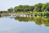 Flock of geese in Briere Marsh, France — Stock Photo