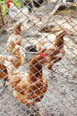 Farm chickens on poultry yard — Stock Photo