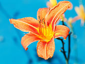 Orange flower of lily close up outdoors — Stock Photo