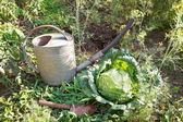 Scoop, watering can and cabbage in garden — Stock Photo