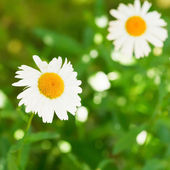 Decorative Ox-eye daisy flowers on green lawn — Stock Photo