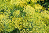 Natural background from flowering dill — Stock Photo
