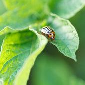 Potato bug eating potatoes leaves — Stock Photo
