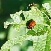 Ten-lined potato beetle larva eating potatoes — Stock Photo