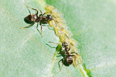Two ants tending aphids group on leaf — Stock Photo