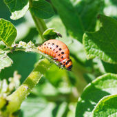 Larva of colorado potato beetle eats potato leaf — Stock Photo