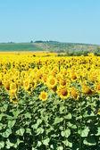 Plantación de girasol en colinas del Cáucaso — Foto de Stock