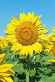 Flor girassol na plantação no Cáucaso — Fotografia Stock
