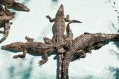 Few young crocodiles on Crocodile Farm — Foto Stock