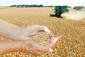 Farmer hands hold seeds on wheat field — Stock Photo
