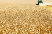 Gathering in field of ripe wheat — Stock Photo