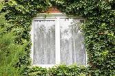 Green ivy around new window — Stock Photo