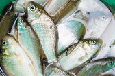 Haul of small freshwater fishes in green bucket — Stock Photo