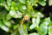 Spider on cobweb over boxwood leaves — Stock Photo