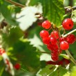 Garden red currant berries on green bush — Stock Photo #51652159