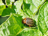 Ten-lined potato beetle in potatoes leaves — Stock Photo
