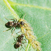 Two ants grazing aphids group on leaf — Stock Photo