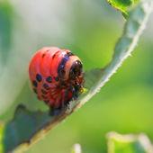 Caterpillar of potato beetle eats potatoes — Stockfoto