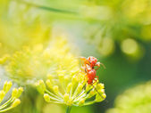 Two soldier beetles in garden grass — Stock Photo