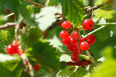 Garden red currant berries on green bush — Stock Photo