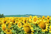 Sunflower flowers on field in Caucasus region — Stock Photo