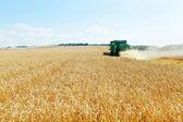 Gathering ripe wheat in caucasus region — Stock Photo