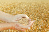 Male hands hold seeds on wheat field — Stock Photo