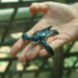 Stock Photo: Baby turtle