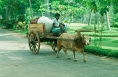 Cow pulling cart — Stock Photo