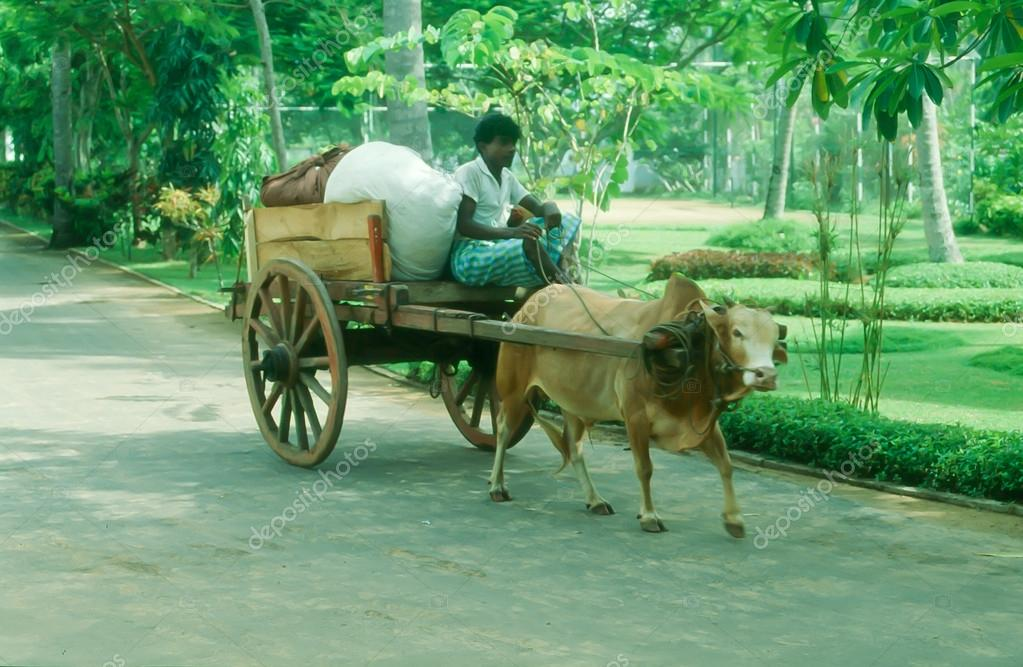 Cow Pulling Wagon : Cow pulling cart stock editorial photo dragan