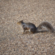 Grey squirrel, Hyde park, London — Stock Photo