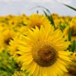 Sunflower field, sunny day in the summer — Stock Photo