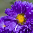 Violet aster with yellow stamens — Stock Photo