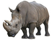 White Rhinoceros isolated over white — Stock Photo