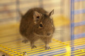 Cute degu on the cage bars, focus on eye and ear — Stock Photo