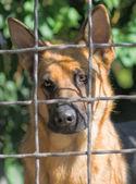 Sad dog encaged looking through the fence — Stock Photo