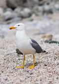 Sitting seagull at the seashore — Stock Photo
