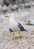 Sitting seagull at the seashore — Stock Photo