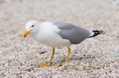 Standing seagull at the beach — Stock Photo