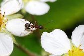 Ant-änderungen-blüte — Stockfoto