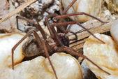 Big brown spider — Stock Photo