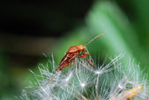 Beetle on blowball — Stock Photo