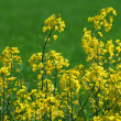 Stock Photo: canola plants