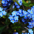 Stock Photo: Forget-me-not flower top