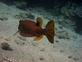 Boxfish side — Stock Photo