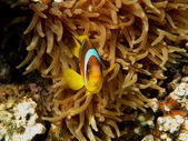 Anemone fish looks in camera — Stock Photo