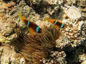 Zwei anemonenfische von oben — Stock Photo